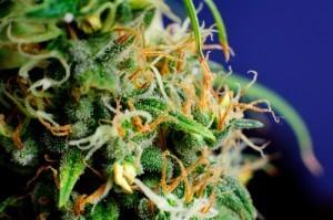 marijuana bud with hairs