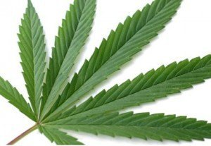 marijuana leaf on table