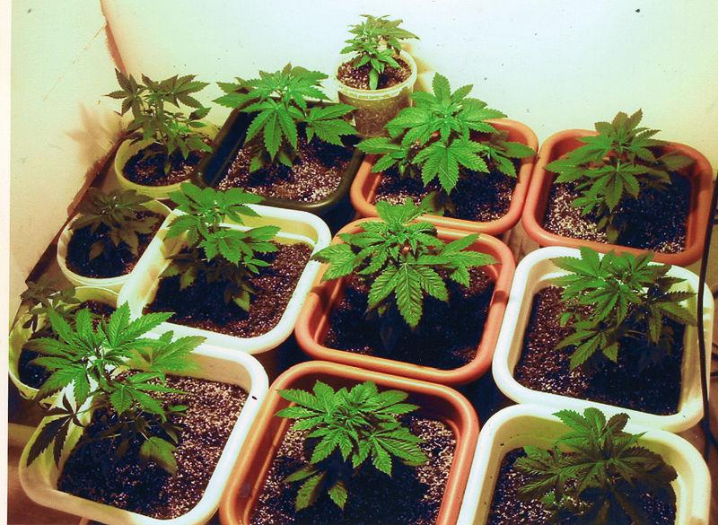 little marijuana plants