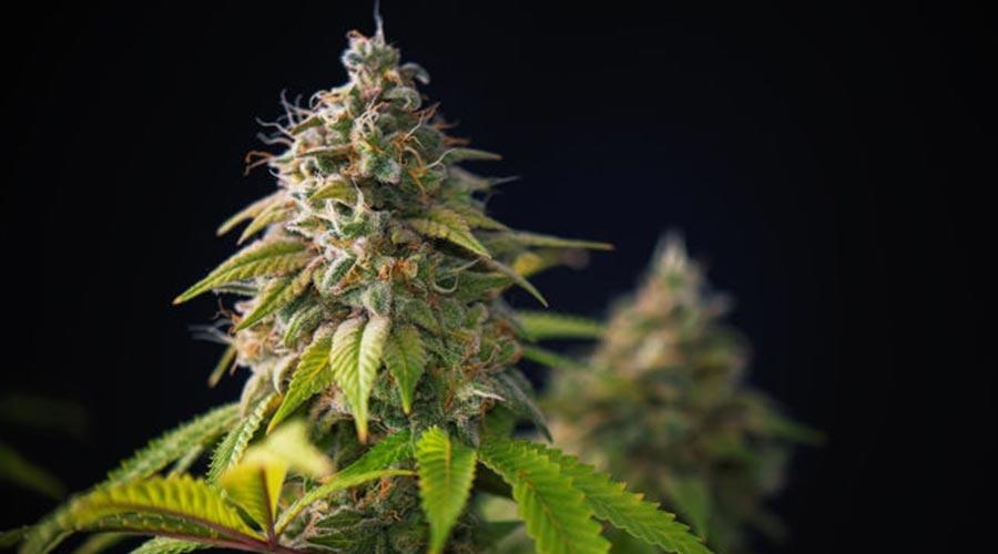 Best indoor cannabis strain
