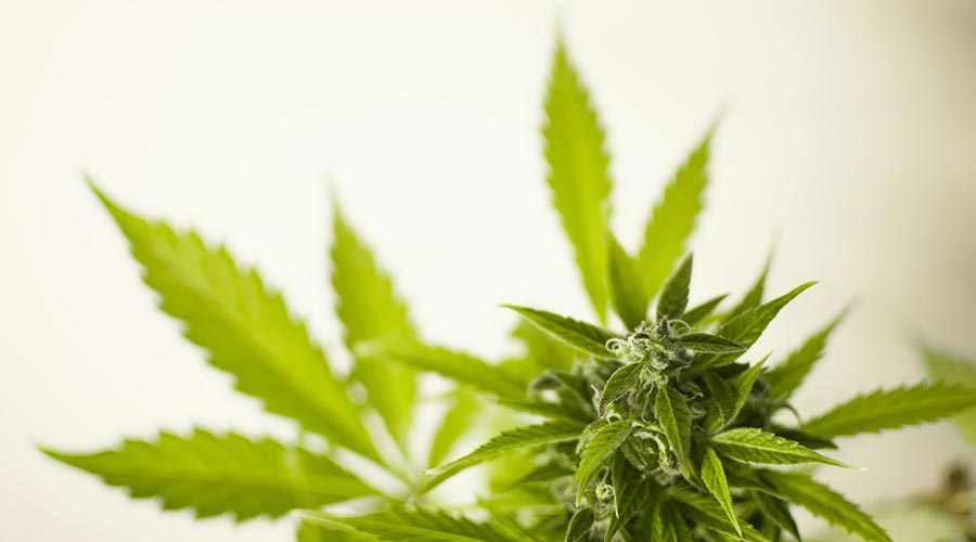 outdoor cannabis strains