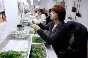 women clipping marijuana plants