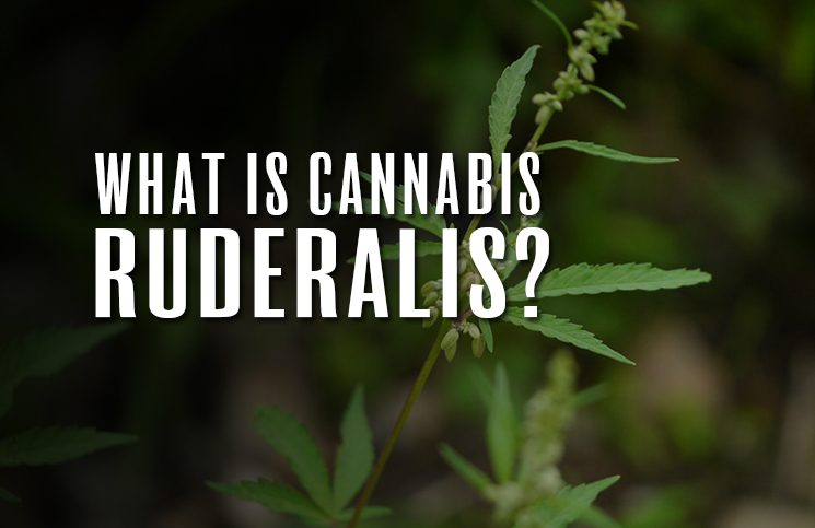 what-is-ruderalis-cannabis