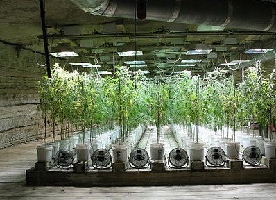hydroponic weed