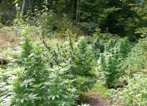 Outdoor cannabis grow