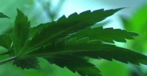 marijuana.leaf.7news