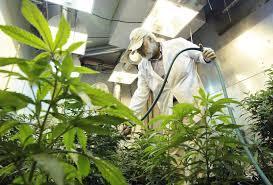 Marijuana Pesticides