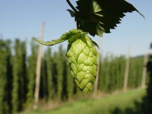 Hops plant