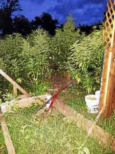 Marijuana Plants Growing at West Haven Connecticut Daycare
