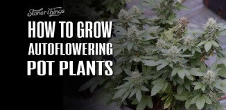 How to Grow Autoflower Marijuana Plants