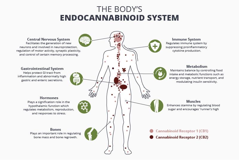 endocannabionid system