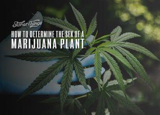 how to tell sex marijuana plant male female