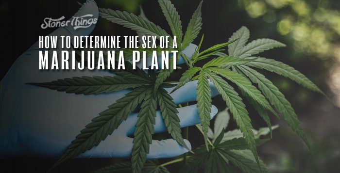 how to tell sex marijuana plant male female