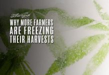 freezing cannabis harvests