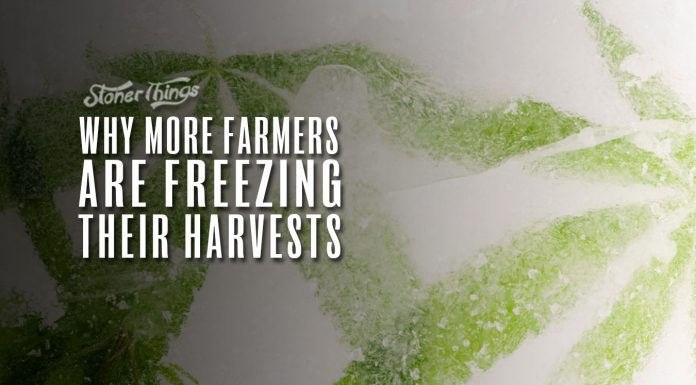 freezing cannabis harvests