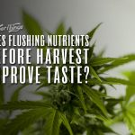 flushing cannabis plants before harvest improve taste