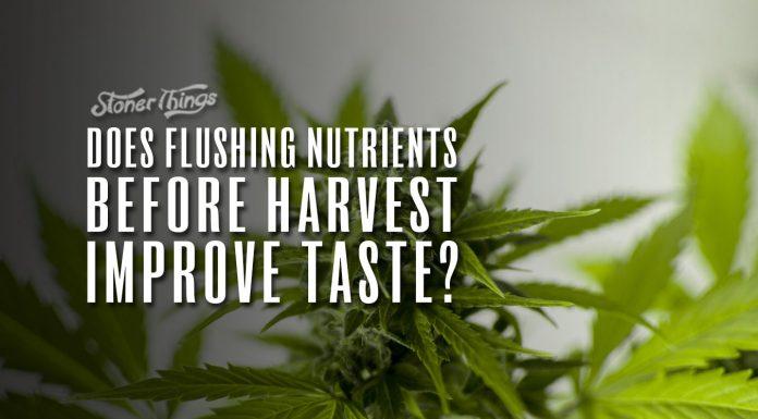 flushing cannabis plants before harvest improve taste