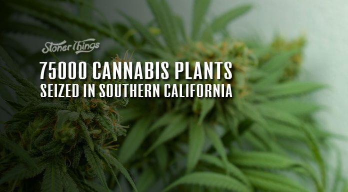 cannabis plants seized california