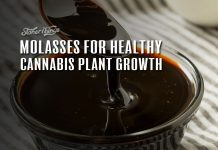 molasses cannabis plant growth