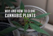 cloning cannabis plants