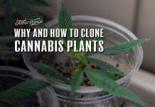 cloning cannabis plants