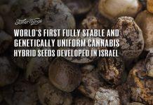 stable uniform cannabis seeds genetics