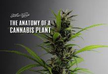 anatomy of cannabis plant