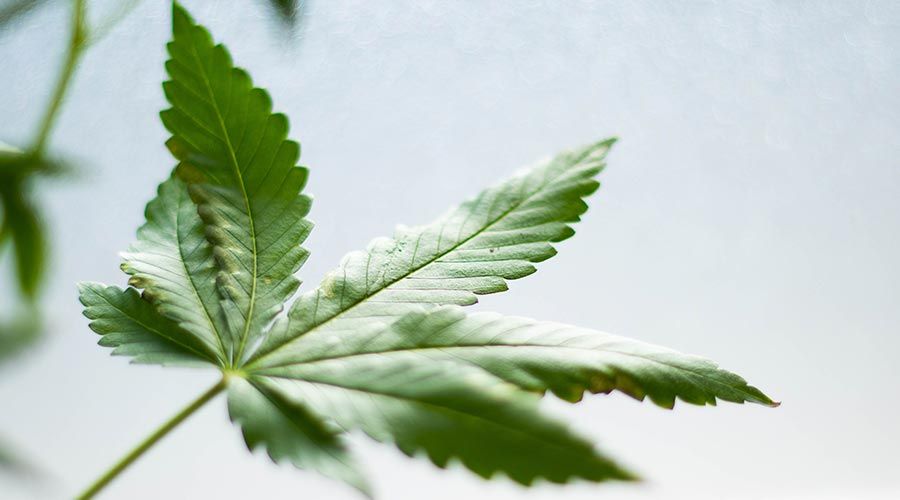 cannabis fan leaf