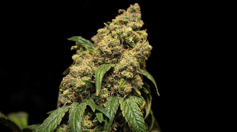 cannabis plant cola