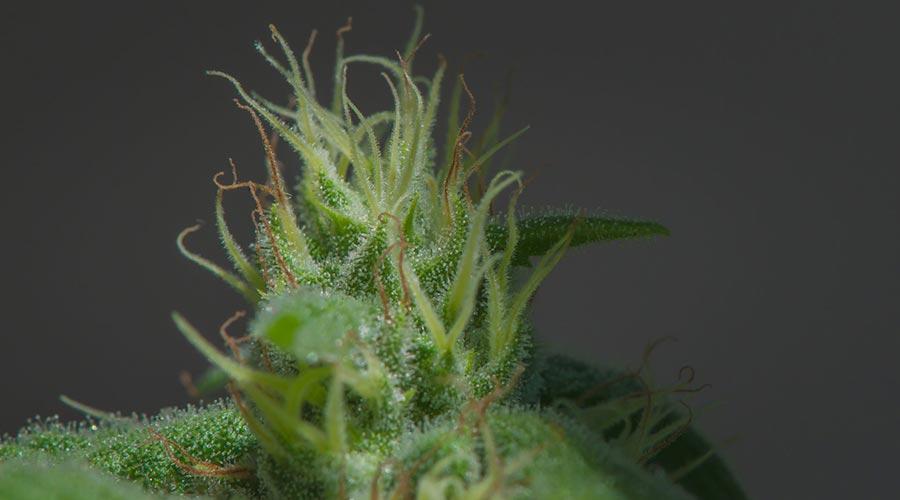 cannabis plant pistils